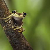 Tree frog Ecuador — Stock Photo