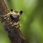 Tree frog Ecuador — Stock Photo