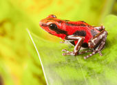 Strawberry poison dart frog — Stock Photo