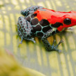 Red poison arrow frog — Stock Photo #24973177