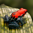Постер, плакат: Red poison dart frog