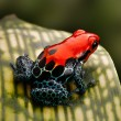 Red poison dart frog — Stock Photo #24973227