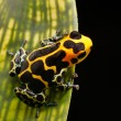 Poison arrow frog - Stock Photo