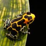 Poison arrow frog — Stock Photo #24973261