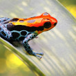 Tropical poison arrow frog - Stock Photo