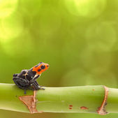 Poison arrow frog — Stock Photo