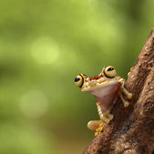 Tropical tree frog — Stock Photo