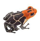 Zehirli ok kurbağa izole — Stok fotoğraf
