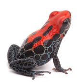 Red poison dart frog isolated — Stock Photo