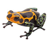 Isolated poison dart frog — Stock Photo