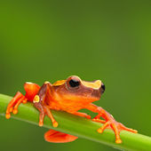 Red tree frog climbing — Stock Photo