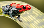 Red poison arrow frog — Stok fotoğraf