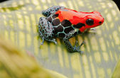 Red poison arrow frog — Stock Photo