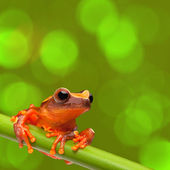 Red tree frog — Stock Photo
