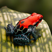 Red poison dart frog — Stockfoto