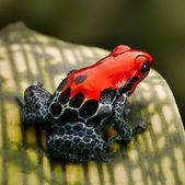 红色的箭毒蛙 — 图库照片