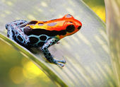 Tropical poison arrow frog — 图库照片