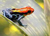 Tropikal zehirli ok kurbağa — Stok fotoğraf