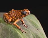 Poison arrow frog Peru — Stock Photo