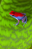 Strawberry poison frog — Stock Photo