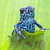 Dendrobates pumilio Colubre — Stock Photo