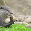 Otter feeding — Stock Photo #16957057