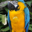 Blue and Gold Macaw Parrot (Arararauna) — Stock Photo #40491995