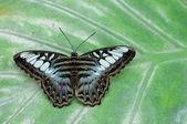 Motýl na zelený list — Stock fotografie