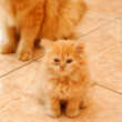 Persian kitten. — Stock Photo