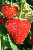 Ripe strawberries. — Stock Photo