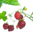 Wild strawberries. — Stock Photo