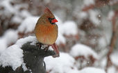 Cardinal in the Falling Snow — Stock Photo