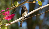 Black Phoebe in Orchid Tree — Stock Photo