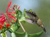 Rufous Hummingbird at Red Honeysuckle — Stock Photo