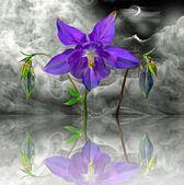 コロンバインの花 — ストック写真
