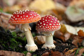 Two spotted toadstools — ストック写真