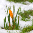 Yellow crocus in the snow - Stock Photo