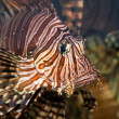 Portrait of a red lionfish — Stock Photo