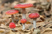 Five red mushrooms fungi — Stock Photo