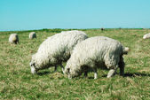 Sheep from the village — Stock Photo