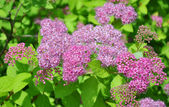Pink spirea flowers — Stock Photo