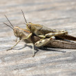 Migratory locust — Stock Photo