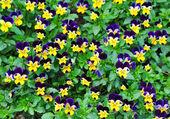 Viola tricolor — Стоковое фото
