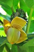 Banán basio — Stock fotografie