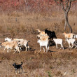 A herd of goats and cattle dog — Stock Photo