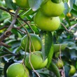 Grapefruit branch — Stockfoto