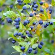 Stock Photo: Myrtle berries