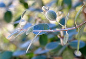 Myrtle berry (feijoa) — Stock Photo