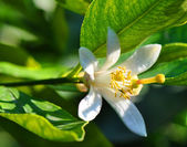 Lemon tree flowers — Stock Photo