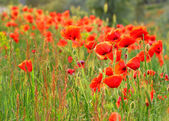 Poppy field — Stockfoto